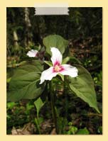 Photo of White Trillium - Seth