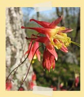 Photo of Wild Columbine by Seth